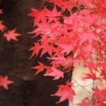 鎌倉の紅葉の見頃 2015年はいつ頃?長谷寺ライトアップ情報