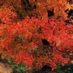 井の頭公園の紅葉の見ごろは?ボートでデート 夜は?
