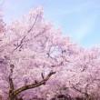目黒川お花見見頃