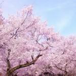 目黒川のお花見 見頃は?クルーズ(1月中旬発表)で夜桜見物も楽しめる!