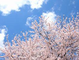 栗林公園 桜 開花予想