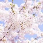 鎌倉の桜の名所スポットを教えて!開花予想とライトアップ情報を!