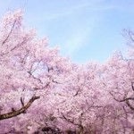 吉野山の花見の見頃は?ルートと混雑状況、服装の注意点は?
