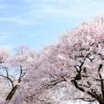 千鳥ヶ淵の花見のデートコースは?見頃とライトアップ情報!