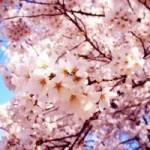 昭和記念公園の花見の時期。場所取り時間と駐車場の混雑状況