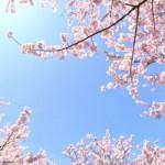 井の頭公園の桜の下でデートしたい!ボートやレストラン情報を!