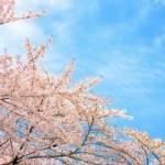 松前公園の桜の見ごろはいつ?桜まつりと駐車場の情報を!