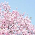 平野神社の桜の見頃は?ライトアップの時間と駐車場情報!