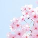 清水寺の桜の見ごろは?ライトアップ情報と駐車場情報を!