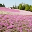 羊山公園 芝桜