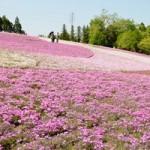 羊山公園 芝桜の季節の混雑は?食事する場所と駐車場情報!