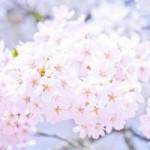 五稜郭公園の桜の見頃は?ライトアップとホテル・駐車場の情報